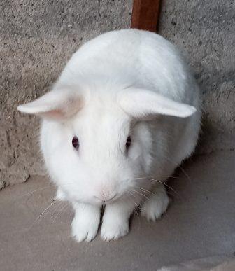 Conejo Harry
